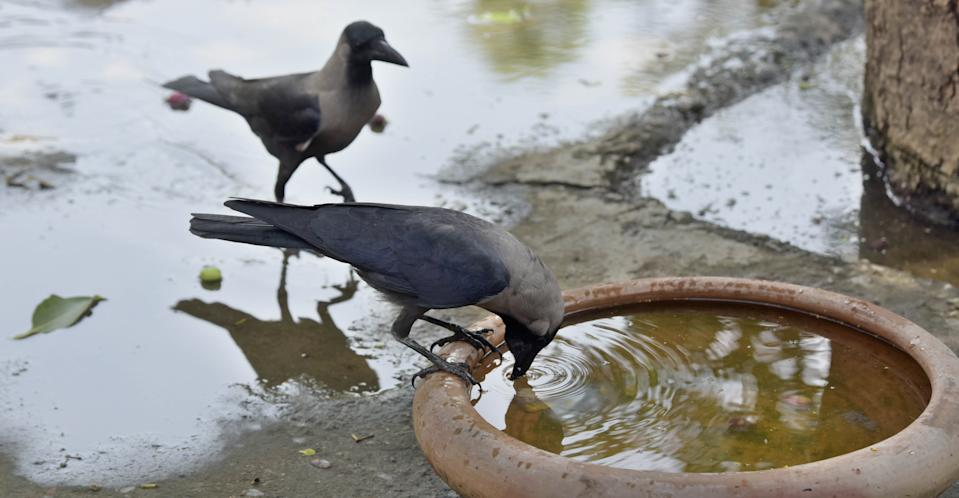 NEW DELHI, INDIA - JUNE 8: A crow quenches its thirst on a summer day, at National Zoological Park, on June 8, 2019 in New Delhi, India. The national capital reeled under scorching heat Saturday, with high humidity adding to the discomfort of the residents. Delhi is expected to record a high of 44 and a low of 29 degrees Celsius, a MeT official said. (Photo by Sushil Kumar/Hindustan Times via Getty Images)