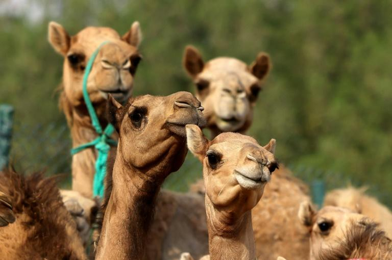 Spot the difference: cloned camel calves are big earners in the Gulf region (AFP/Karim SAHIB)