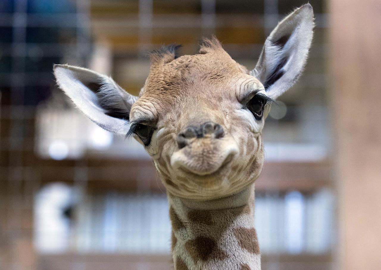 <p>One-day-old baby giraffe calf Gus looks at the camera at Noah's Ark farm on May 12, 2017 in Bristol, England. The baby giraffe was born yesterday at the zoo farm in North Somerset. In the wild, populations of giraffes are suffering from a continuing decline, with 97,500 estimated in Africa in 2015. Since 1985 the total giraffe population has fallen by 35%. New arrival Gus joins brothers George, 4 and Geoffrey, 2. (Photo: Matt Cardy/Getty Images) </p>