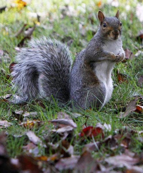 In this Oct. 5, 2012 photo, a gray squirrel sits in Montpelier, Vt. Biologists say a variety of natural forces have combined to produce an overabundance of squirrels throughout Vermont and some adjoining states, devastating at least some apple orchards. It's expected the population could crash as rapidly as it grew.(AP Photo/Toby Talbot)