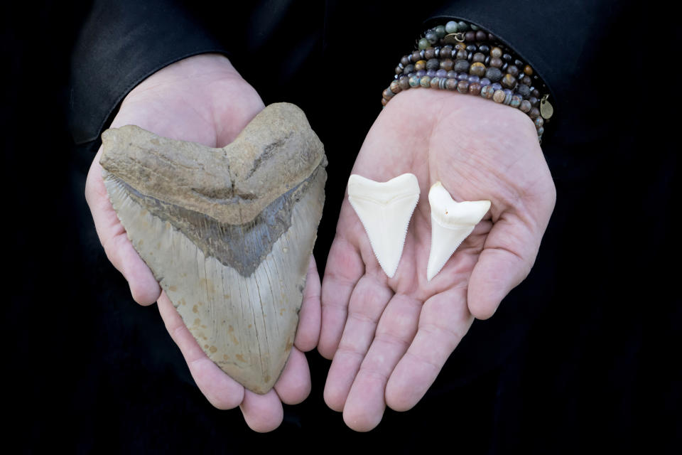A photo of a person holding prehistoric Megalodon shark tooth and two Great White Shark teeth.
