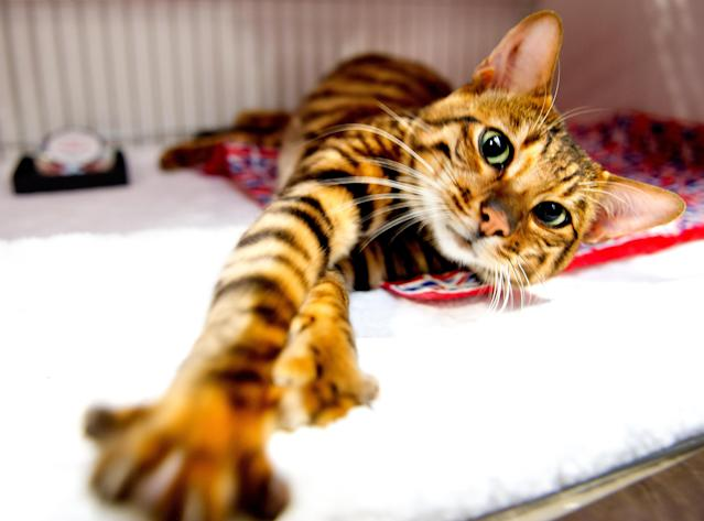 <p>A Toyger Cat participates in the GCCF Supreme Cat Show at National Exhibition Centre on October 28, 2017 in Birmingham, England. (Photo: Shirlaine Forrest/WireImage) </p>