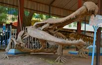 Sarcosuchus imperator, an 11m (36-feet)-long crocodile, is the zoo's pride and joy