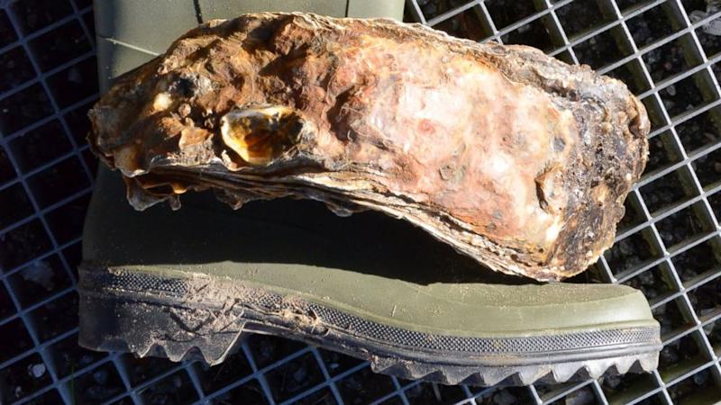 World's Largest Oyster Is One Big Bivalve