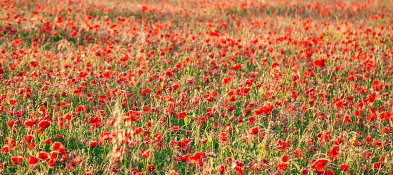 Poppies have been blooming on the White Cliffs (Matt Hayward/National Trust/PA)