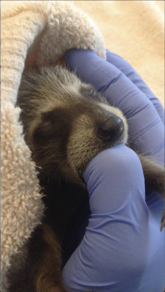In this photo taken on Sept. 5, 2016, and provided by WildCare, a baby raccoon that inadvertently hitched a ride from Florida to Marin County in Northern California is nursed back to health at WildCare in San Rafael, Calif. The raccoons are now recovering at the Oakland Zoo. Animal care authorities said Tuesday, Jan. 17, 2017, that in September a man had unknowingly transported the raccoons from Florida to Marin County in a moving truck. (Marie-Noelle Marquis/WildCare via AP)