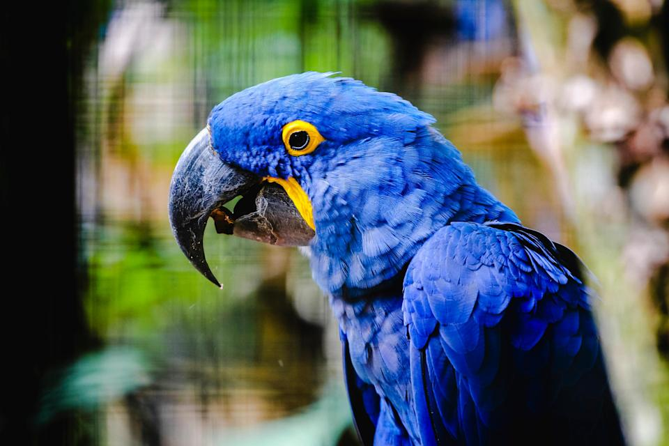 The elusive hyacinth macaw - getty