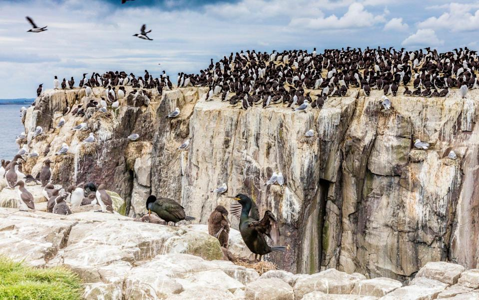 A large flock of common guillemots on the small rocky Staple Island - ©VisitBritain/Chris Orange/©VisitBritain/Chris Orange