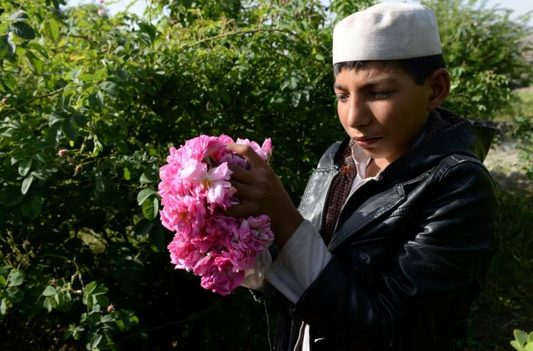 Roses are providing farmers in Nangarhar province with a viable alternative to growing opium poppies, the sale of which has fuelled the conflict raging across the country