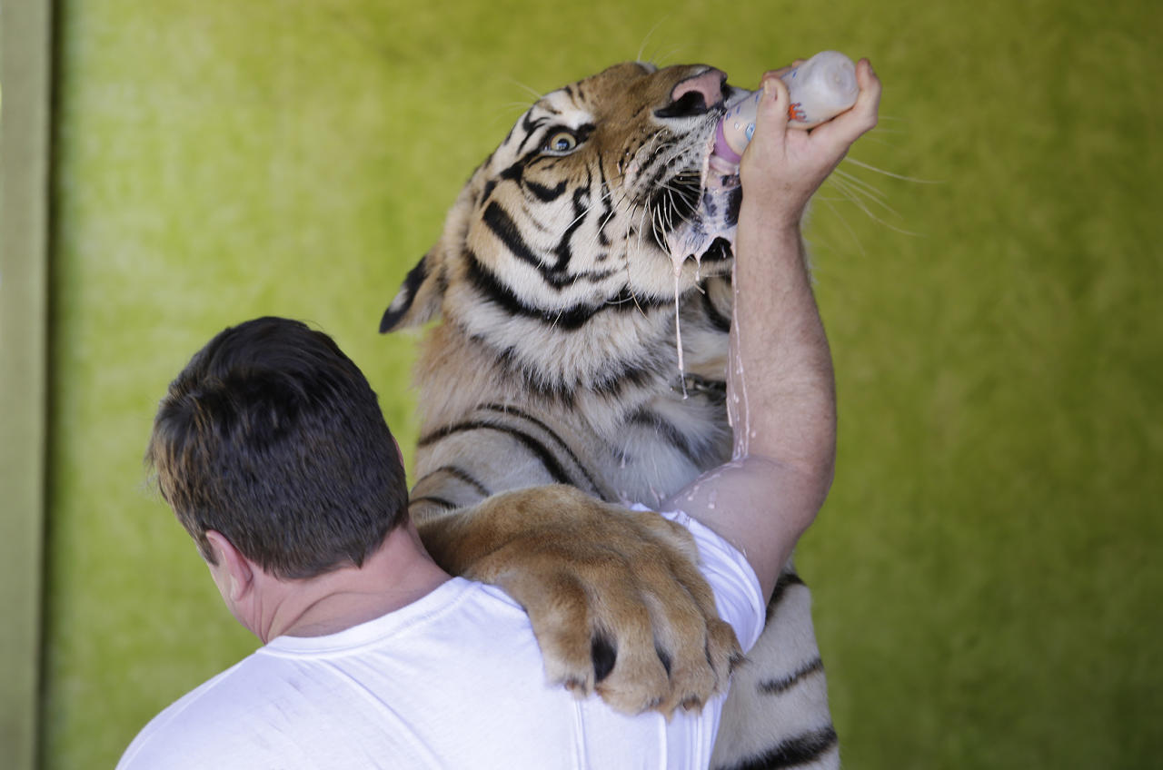 Ary Borges feeds his tiger named Dan at his home in Maringa, Brazil, Thursday, Sept. 26, 2013. Borges is in a legal battle with federal wildlife officials to keep his endangered animals from undergoing vasectomies and being taken away from him. He defends his right to breed the animals and says he gives them a better home than they might find elsewhere in Brazil. (AP Photo/Renata Brito)