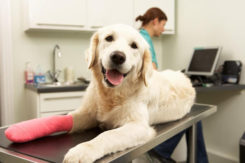 Dog on exam table with pink tape on paw at veterinary office