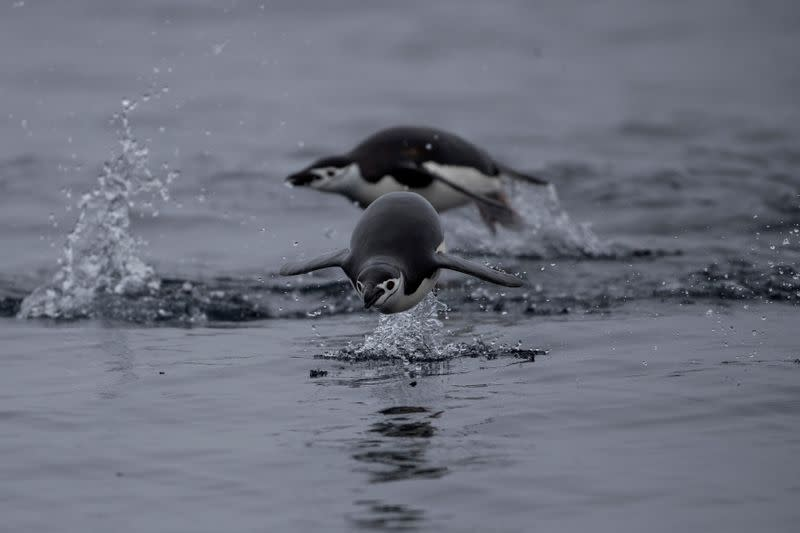 FILE PHOTO: Chinstrap Penguins swim near Two Hummock Island, Antarctica