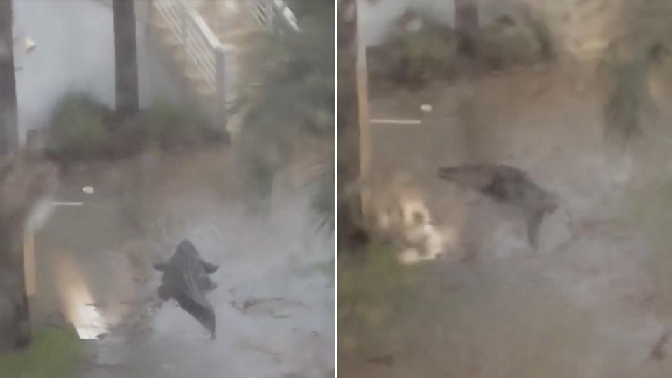 An alligator in floodwater near homes in Alabama after Hurricane Sally.