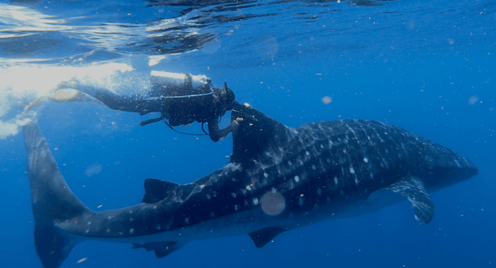 Rafael de la Parra, executive director of Ch'ooj Ajauil AC, an ocean conservation organization in Mexico, affixes a satellite tag to the dorsal fin of whale shark Rio Lady in 2018.