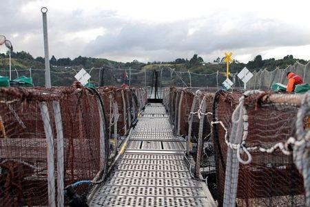 FILE PHOTO: Floating ponds containing salmon at a salmon hatchery are seen near Puerto Montt