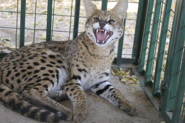 Gato serval en cautiverio. (AP Photo/Alfred de Montesquiou)