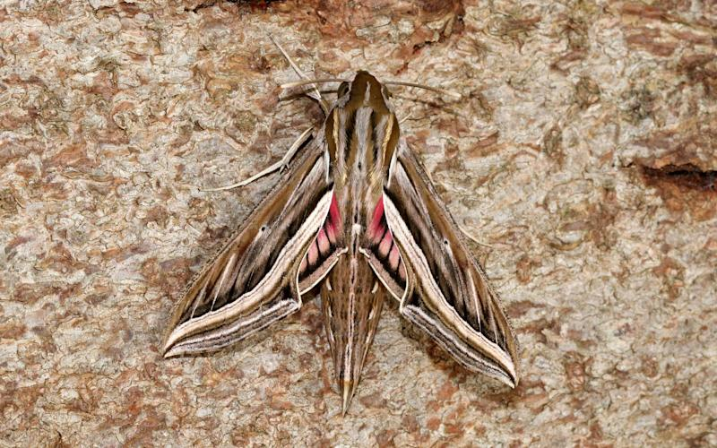 A silver-striped hawk moth - Butterfly Conservation