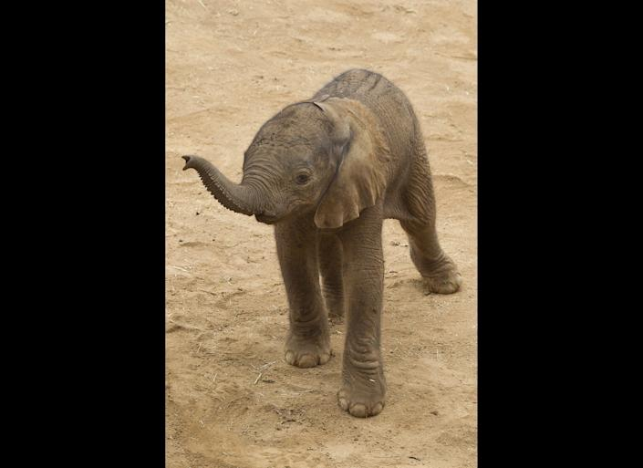A newborn Africa elephant lifted his trunk in search of his mother at the San Diego Zoo Safari Park. The male calf was born at 5:45 a.m. on Monday to Umngani (oom-gah-nee). In this rare moment, the calf stood alone after he had wandered off a few steps, but shortly thereafter his mother, 5-year-old sister Khosi (koh-see), and 2-year-old brother Ingadze (in-Gahd-zee) rushed over to tend to the unnamed calf. Throughout the day the family watched over their newest member, letting him only stray a few feet. The Safari Park is now home to 18 elephants8 adults and 10 youngsters. The adults were rescued in 2003 from the Kingdom of Swaziland, where they faced being culled. The average gestation period for African elephants is 649 days or 22 months. A newborn calf averages 200 to 300 pounds. Calves can be weaned at 2 to 3 years old.