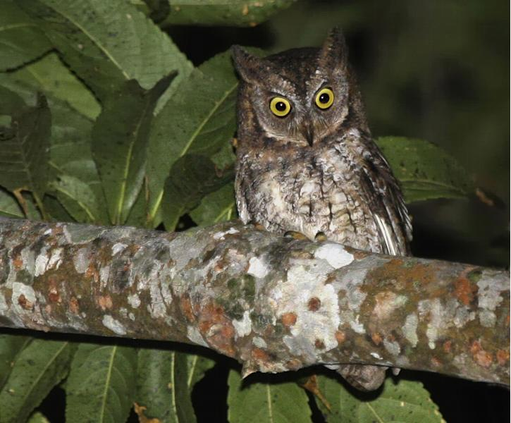 This undated photo taken by independent researcher Philippe Verbelen and released by online scientific journal PLOS ONE, shows a Rinjani Scops owl perching on a tree on Lombok island, Indonesia. The new species of owl believed to be found nowhere else in the world was discovered by accident on the Indonesian island when researchers in search of another bird noticed its distinct song. (AP Photo/PLOS ONE, Philippe Verbelen) NO SALES