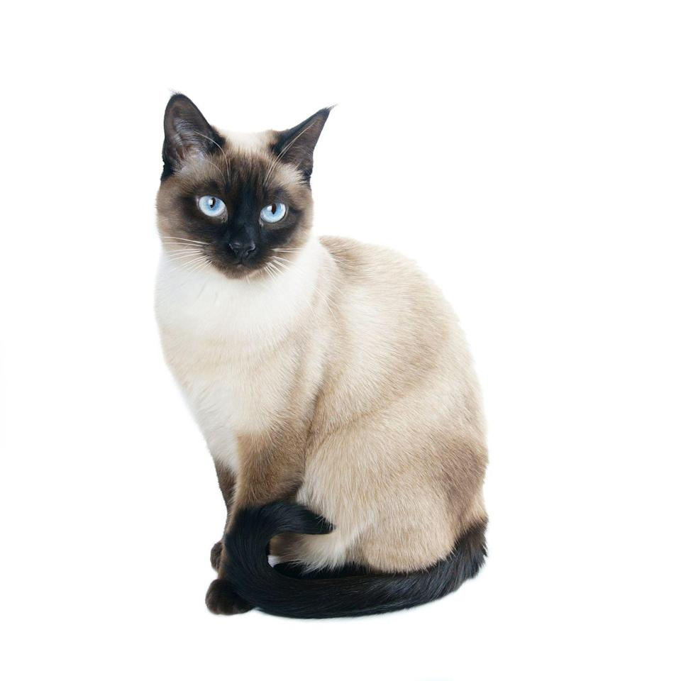 "<p><a href=""http://www.vetstreet.com/cats/siamese#0_ryz4d6cf"" rel=""nofollow noopener"" target=""_blank"" data-ylk=""slk:Cross-eyed Siamese cats"" class=""link rapid-noclick-resp"">Cross-eyed Siamese cats</a> are very common within the species, and, let's be honest, it makes them even more adorable.</p>"