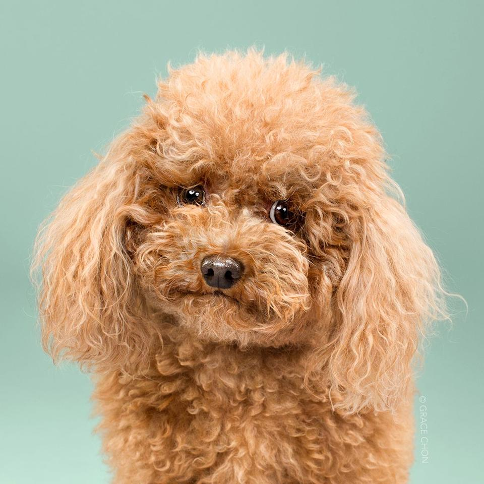 <p>Breed: Toy Poodle</p>