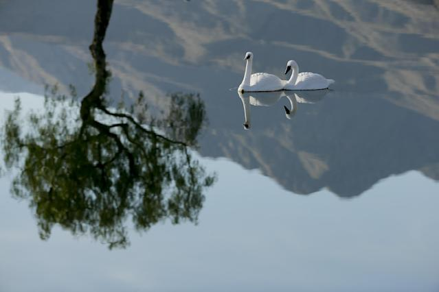 Faux swans are reflected in the pond between the first and 10th hole during the third round of the Humana Challenge golf tournament on the Palmer Private course at PGA West Saturday, Jan. 18, 2014, in La Quinta, Calif. The swans are used to scare away geese. (AP Photo/Chris Carlson)