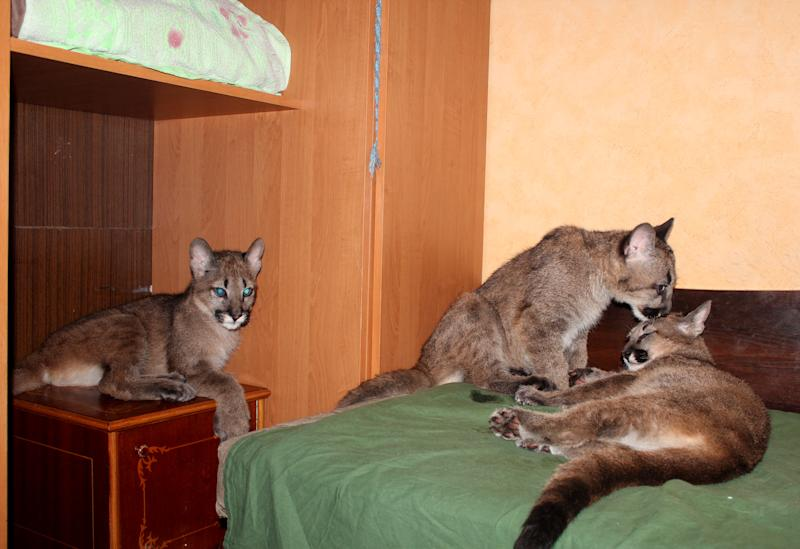 CORRECTS PERIOD SINCE CUBS WERE REMOVED FROM MOTHER - Three four month old pumas seen in Rasa Veliute's apartment in Klaipeda, Lithuania, Friday, April 12, 2013. 23 year old Veliute, a volunteer at a private zoo in Klaipeda seaport says she took three cubs home four months ago when their mother refused to care for them. Veliute said Friday the pumas have grown fast and will have to be returned to the zoo this summer. (AP Photo/ Ausra Pilaitiene)
