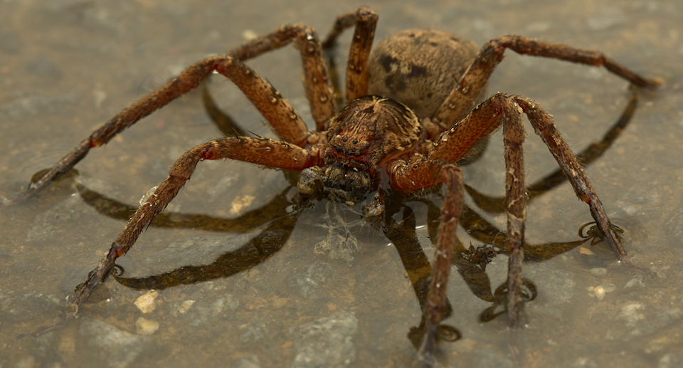 Spiders will usually disperse once floodwaters dissipate. Source: Getty