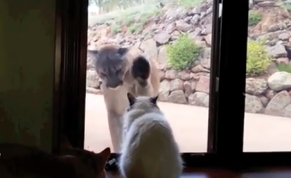 Brave house cat squares up to mountain lion