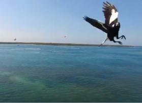 Australian man dies after attack by swooping magpie
