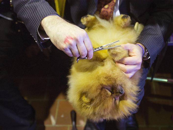 A Pomeranian gets its paws trimmed in 2013.