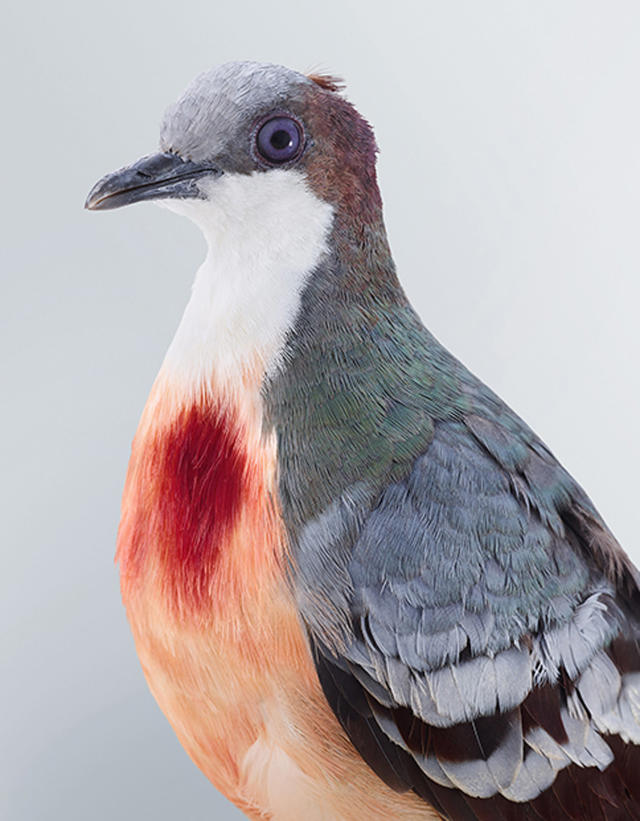 <p>The idea for the series, named Ornithurae, came to Sydney-basedJeffreys three years ago, after she witnessed the amazing plumage of a wompoo pigeon firsthand. (Photo: Leila Jeffreys/Caters News) </p>