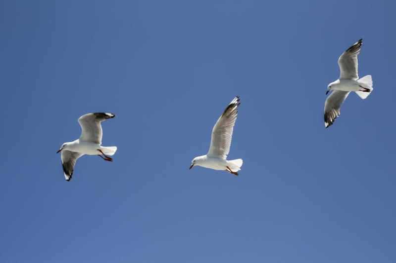 Group of seagulls in a clear sunny sky
