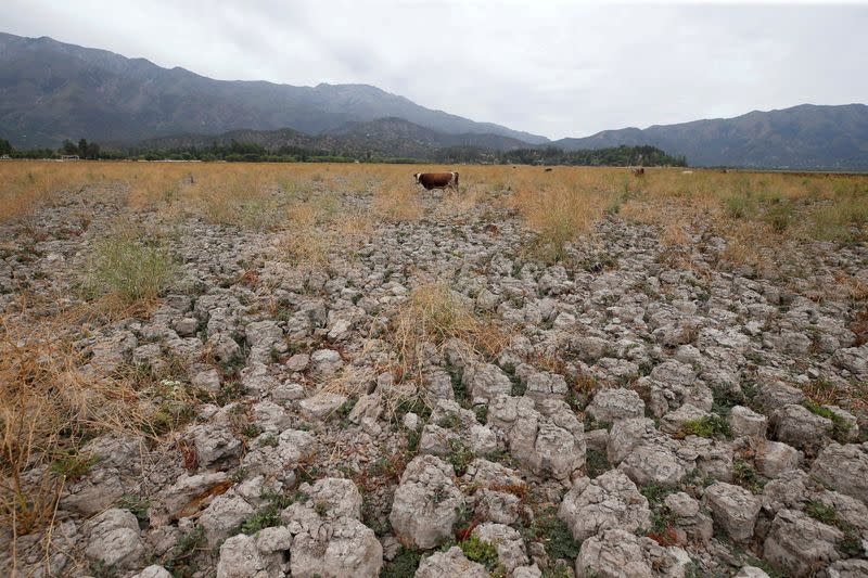 FILE PHOTO: A cow stands on land that used to be filled with water, at the Aculeo Lagoon in Paine