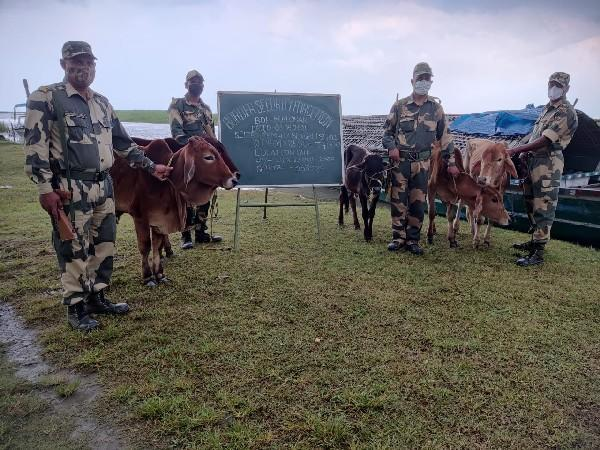 BSF with rescued cattle