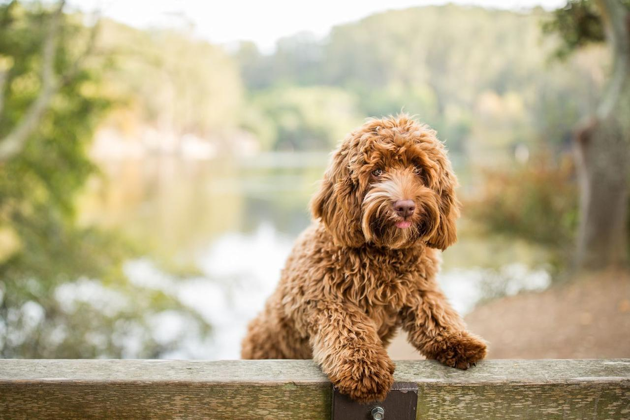 "<p><a href=""http://www.vetstreet.com/dogs/labradoodle"" target=""_blank"">Labradoodles</a> come in all shapes and sizes, according to VetStreet, because they can be bred using <a href=""https://www.womansday.com/life/pet-care/g26418410/small-dog-breeds/"" target=""_blank"">miniature</a> or standard-sized poodles. Although you never know what genes will be more dominant when cross-breeding, you'll definitely get a Labrador and Poodle mix that is friendly and <a href=""https://www.womansday.com/life/pet-care/g26337955/smart-dog-breeds/"" target=""_blank"">smart</a>.</p>"
