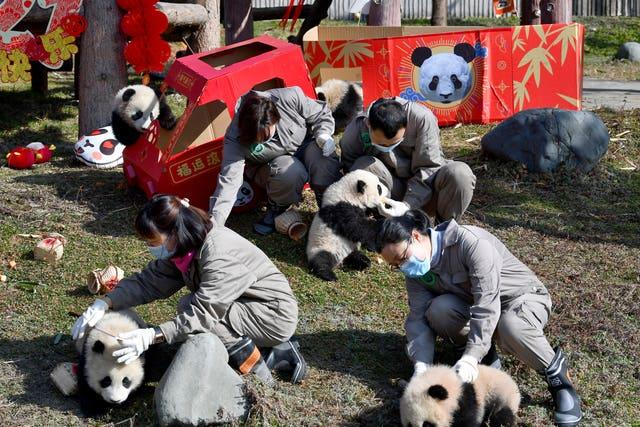 Researchers hold some of the baby pandas born during the year 2020 at the centre