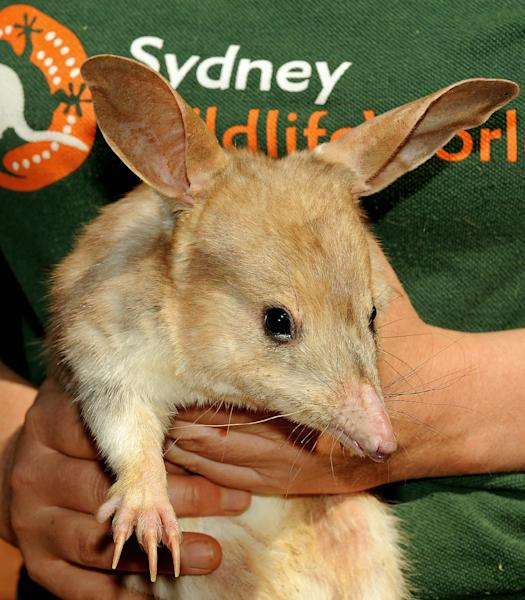 A photo taken on September 11, 2009 shows a nocturnal male bilby at Sydney Wildlife World (AFP Photo/Greg Wood)