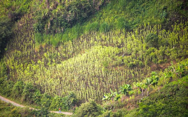 A coca field is seen in Pueblo Nuevo, in the municipality of Briceno, Antioquia Department, Colombia, on May 15, 2017