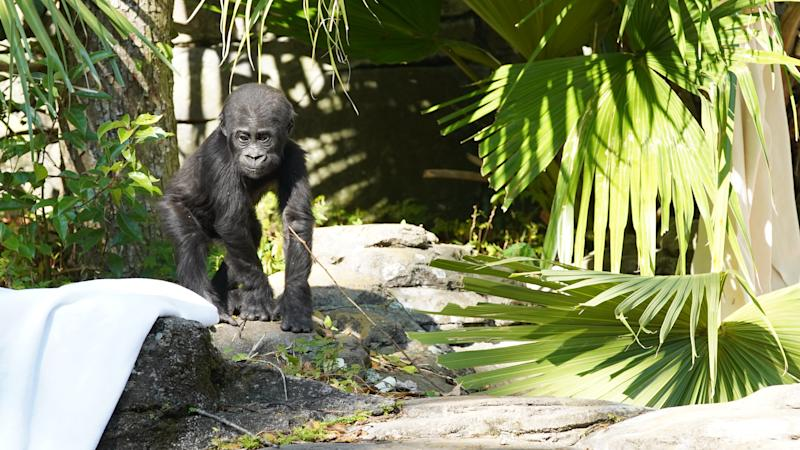 Grace, the baby Western Lowland Gorilla in Magic of Disney's Animal Kingdom (Disney)