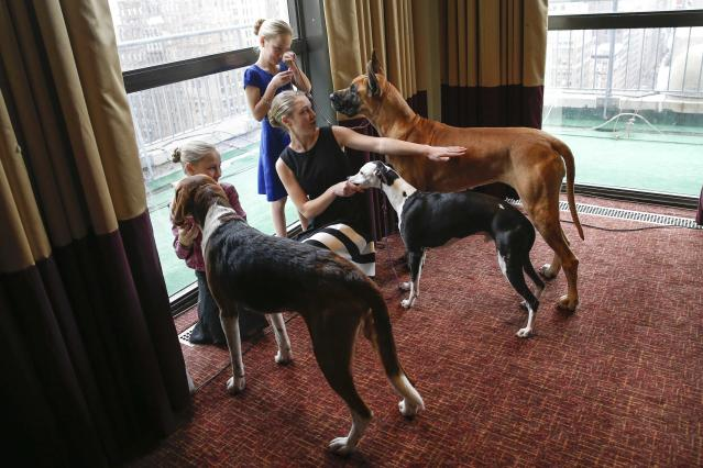 Dog handler sisters (L to R) Faith Rogers, with dog Bobby and American Foxhound breed, Sophia, with Erik a Whippet breed, and Emma, Joy a Great Dane breed, stand with their dogs during a press conference for the upcoming 139th Annual Westminster Kennel Club Dog Show in New York January 21, 2015. REUTERS/Shannon Stapleton (UNITED STATES)