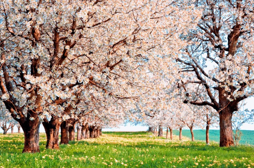 <p>The century-old custom <span>is k</span>nown as 'hanami,'which means flower viewing. Early scripture hints that the tradition began with emperors and members of the Imperial Palace. </p>