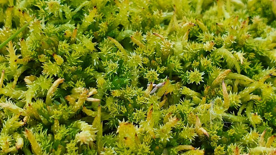 Sphagnum can hold 20 times its volume in water (Beth Thomas)