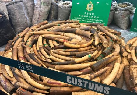Ivory tusks and pangolin scales seized by Hong Kong Customs are displayed at a news conference in Hong Kong, China, February 1, 2019. REUTERS/Stringer  NO RESALES. NO ARCHIVE.