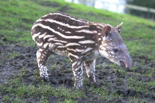 Dublin zoo faces prosecution after girl, 2, and mother attacked by tapir