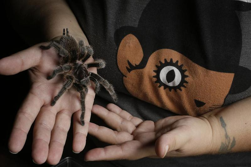 """In this photo taken Friday, Oct. 4, 2013, nurse Dee Reynolds cares for holds """"Lucy,"""" a Chilean Rose Hair (Red Phase) one of her 50 tarantulas at her home in Los Angeles. Tarantulas are the heaviest, hairiest, scariest spiders on the planet. They have fangs, claws and barbs. They can regrow body parts and be as big as dinner plates, and the females eat the males after mating. But there are many people who call these creepy critters a pet or a passion and insist their beauty is worth the risk of a bite. (AP Photo/Damian Dovarganes)"""