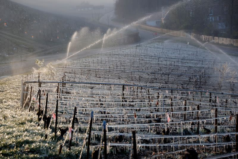 Water is sprayed early in the morning to protect vineyards from frost damage outside Chablis