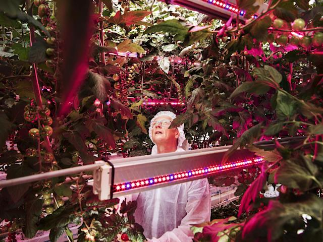 <p>Hunger Solutions: Plant scientist Henk Kalkman checks tomatoes at a facility that tests combinations of light intensity, spectrum and exposures at the Delphy Improvement Center in Bleiswijk, the Netherlands, Oct. 17, 2016.<br>The planet must produce more food in the next four decades than all farmers in history have harvested over the past 8,000 years. Small and densely populated, the Netherlands lacks conventional sources for large-scale agriculture but, mainly through innovative agricultural practice, has become the globe's second largest exporter of food as measured by value. It is beaten only by the United States, which has 270 times its landmass.<br>Since 2000, Dutch farmers have dramatically decreased dependency on water for key crops, as well as substantially cutting the use of chemical pesticides and antibiotics. Much of the research behind this takes place at Wageningen University and Research (WUR), widely regarded as the world's top agricultural research institution. WUR is the nodal point of 'Food Valley,' an expansive cluster of agricultural technology start-ups and experimental farms that point to possible solutions to the globe's hunger crisis. (Photo: Luca Locatelli for National Geographic) </p>