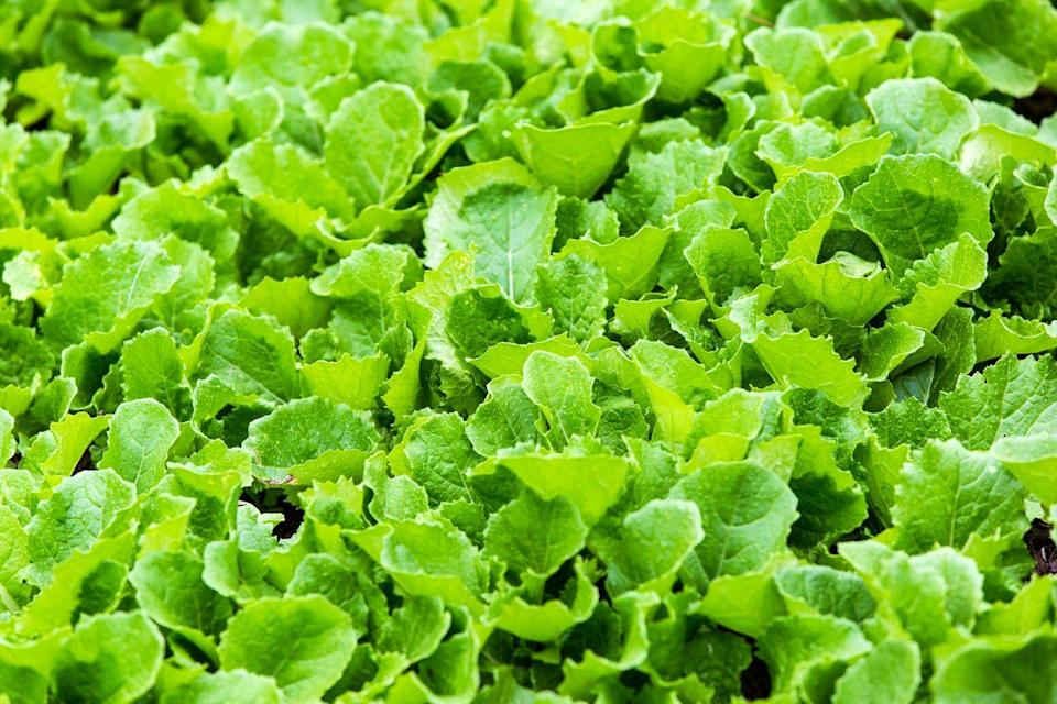 """<p>Lettuce takes around 21 days to grow, so you'll have a fresh green bunch of leaves in no time at all. Chris Bonnett from <a href=""""https://go.redirectingat.com?id=127X1599956&url=https%3A%2F%2Fwww.gardeningexpress.co.uk%2F&sref=https%3A%2F%2Fwww.prima.co.uk%2Fhome-ideas%2Fgardening%2Fg35861874%2Feasy-vegetables-to-grow-quickly-1%2F"""" rel=""""nofollow noopener"""" target=""""_blank"""" data-ylk=""""slk:Gardening Express"""" class=""""link rapid-noclick-resp"""">Gardening Express</a> explains: """"For the quickest results, sow the seeds very thinly spaced around 15-25cm apart. Cover the seeds over gently and pat the surface of the soil down. Water along the rows then keep the soil moist and weed-free as the seedlings grow.""""</p><p><strong>Sowing to harvest: 21 days</strong></p><p><a class=""""link rapid-noclick-resp"""" href=""""https://go.redirectingat.com?id=127X1599956&url=https%3A%2F%2Fwww.crocus.co.uk%2Fplants%2F_%2Flettuce-mixed%2Fclassid.2000015236%2F&sref=https%3A%2F%2Fwww.prima.co.uk%2Fhome-ideas%2Fgardening%2Fg35861874%2Feasy-vegetables-to-grow-quickly-1%2F"""" rel=""""nofollow noopener"""" target=""""_blank"""" data-ylk=""""slk:BUY LETTUCE SEEDS"""">BUY LETTUCE SEEDS</a></p>"""
