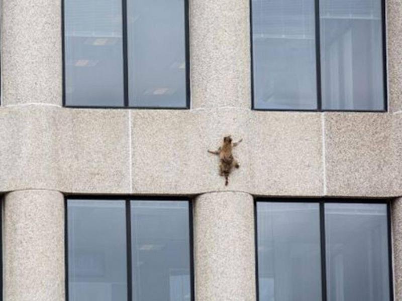 A raccoon scurries up the side of the UBS Plaza building in St Paul, Minnesota (Evan Frost/MPR News/via REUTERS)